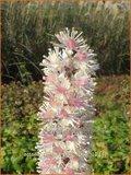 Actaea ramosa 'Pink Spike' | Zilverkaars, Christoffelkruid
