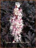 Actaea ramosa 'Pink Spike' | Zilverkaars, Oktoberkaars, Christoffelkruid