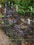Actaea simplex 'Black Negligee' | Zilverkaars, Christoffelkruid