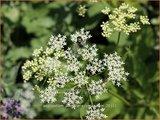 Aegopodium podagraria 'Variegatum' | Zevenblad