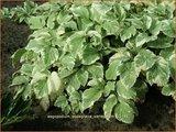 Aegopodium podagraria 'Variegatum' | Bont zevenblad, Zevenblad