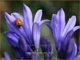 Agapanthus 'Purple Cloud' | Kaapse lelie, Afrikaanse lelie, Liefdesbloem