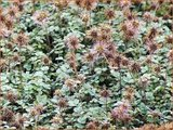 Acaena microphylla | Stekelnootje