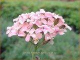 Achillea millefolium 'Apfelbluete'   Duizendblad