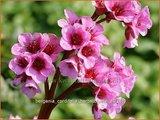 Bergenia cordifolia 'Herbstbluete'   Schoenlappersplant, Olifantsoren
