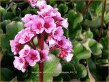 Bergenia cordifolia 'Herbstbluete'   Schoenlappersplant, Olifantsoor