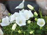 Campanula carpatica 'Weisse Clips'   Karpatenklokje, Klokjesbloem