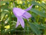 Adenophora 'Gaudi Violet' | Bekerklokje, Vrouwenklokje | Becherglocke