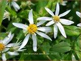 Aster divaricatus 'Eastern Star' | Sneeuwsteraster, Bosaster, Aster | Waldaster