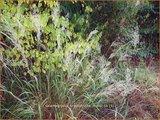 Calamagrostis brachytricha 'Mona'   Diamantgras, Struisriet   Diamant-Reitgras