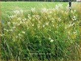 Filipendula ulmaria   Moerasspirea, Spirea   Sumpf-Mädesüß