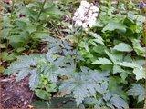 Actaea pachypoda | Christoffelkruid | Weißfrüchtiges Christophskraut