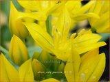 Allium moly 'Jeannine'   Goudlook, Gele sierui, Sierui, Look   Gold-Lauch