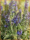 Salvia nemorosa 'Marcus' | Salie, Salvia