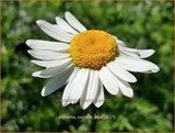 Anthemis tinctoria 'Alba' | Gele kamille, Verfkamille, Kamille | Färberkamille