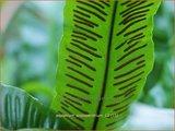 Asplenium scolopendrium | Tongvaren, Streepvaren | Hirschzungenfarn