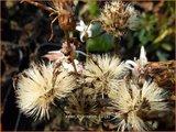 Aster divaricatus | Sneeuwsteraster, Bosaster, Aster | Waldaster