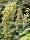 Astilboides tabularis | Tafelblad | Tafelblatt