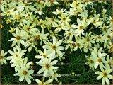 Coreopsis verticillata 'Moonbeam' | Meisjesogen | Quirlblättriges Mädchenauge