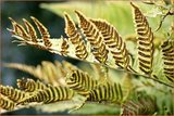 Dryopteris erythrosora | Rode sluiervaren, Herfstvaren | Rotschleierfarn