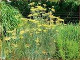 Foeniculum vulgare   Venkel   Gewöhnlicher Fenchel
