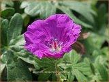 Geranium sanguineum 'Elsbeth'   Bloedooievaarsbek, Ooievaarsbek, Tuingeranium   Blut-Storchschnabel
