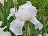 Iris germanica 'Immortality' | Baardiris, Iris, Lis | Hohe Bart-Schwertlilie