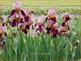 Iris germanica 'Indian Chief'   Baardiris, Iris, Lis   Hohe Bart-Schwertlilie