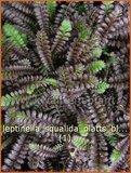 Leptinella squalida 'Platts Black' | Vedermos, Koperknoopje, Goudknopje | Brauner Fiederteppich