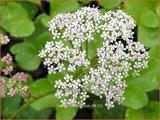 Ligusticum scoticum | Zeelavas, Lavas | Schottische Mutterwurz