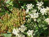 Ligusticum scoticum | Zeelavas