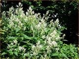 Persicaria polymorpha | Duizendknoop | Alpenknöterich