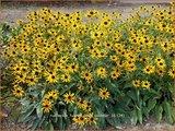 Rudbeckia fulgida 'Little Goldstar' | Zonnehoed | Gewöhnlicher Sonnenhut