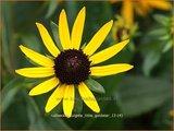 Rudbeckia fulgida 'Little Goldstar' | Zonnehoed