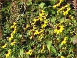 Rudbeckia triloba | Zonnehoed | Dreilappiger Sonnenhut