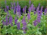 Salvia nemorosa 'Mainacht' | Bossalie, Salie, Salvia | Steppensalbei