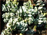 Sedum ewersii   Vetkruid   Himalaya-Fettblatt