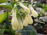 Symphytum grandiflorum   Smeerwortel   Kaukasus-Beinwell
