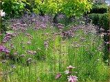 Verbena bonariensis | IJzerhard | Hohes Eisenkraut