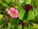 Oxalis tetraphylla 'Iron Cross' | Geluksklaver, Klaverzuring | Glücksklee