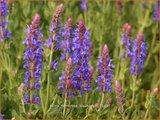 Salvia nemorosa 'Blauhuegel' | Bossalie, Salie, Salvia