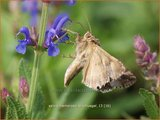 Salvia nemorosa 'Blauhuegel' | Salie, Salvia