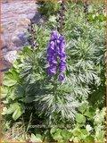 Aconitum napellus | Monnikskap