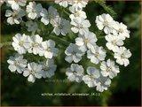 Achillea millefolium 'Schneetaler' | Duizendblad | Gewöhnliche Schafgarbe