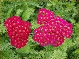 Achillea 'Pomegranate' | Duizendblad | Garbe