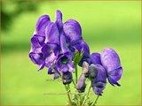 Aconitum cammarum 'Arendsii' | Monnikskap | Eisenhut
