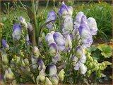 Aconitum 'Cloudy' | Monnikskap | Eisenhut