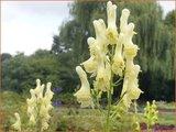 Aconitum lamarckii | Monnikskap | Hahnenfußblättriger Eisenhut