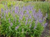 Agastache foeniculum | Dropplant, Anijsnetel | Anis-Duftnessel
