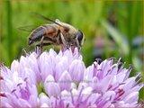 Allium angulosum | Kantlook, Look | Kanten-Lauch
